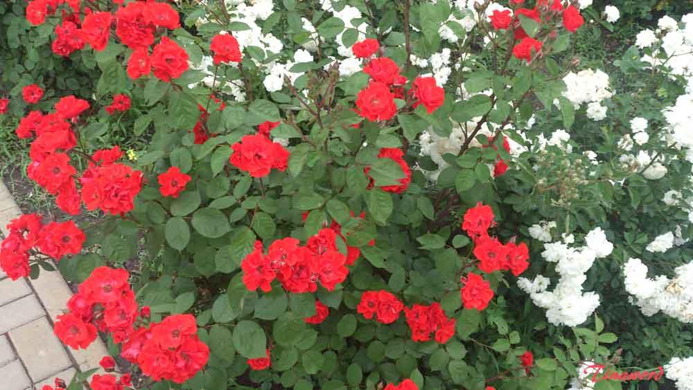 розы19.jpg