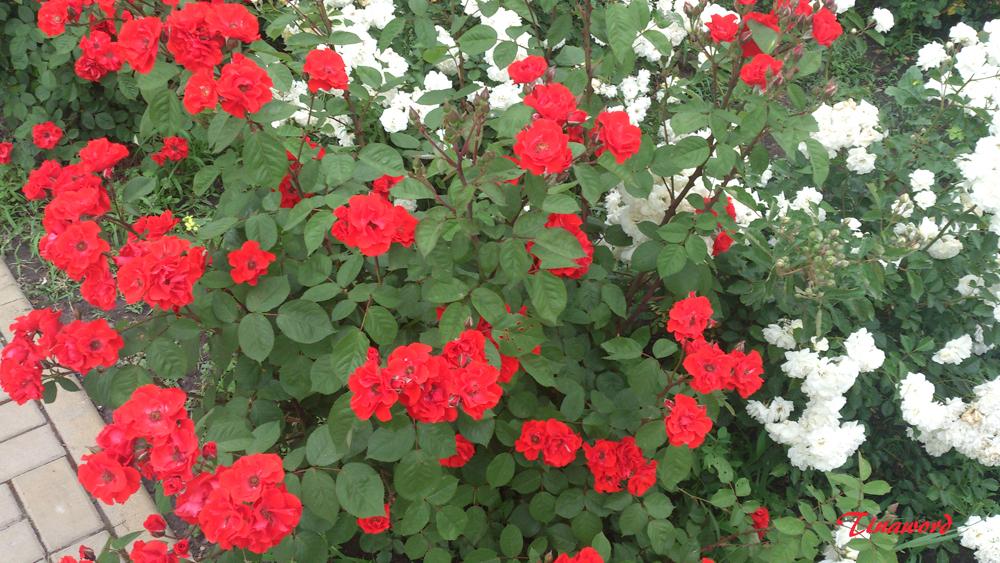 розы19а.jpg