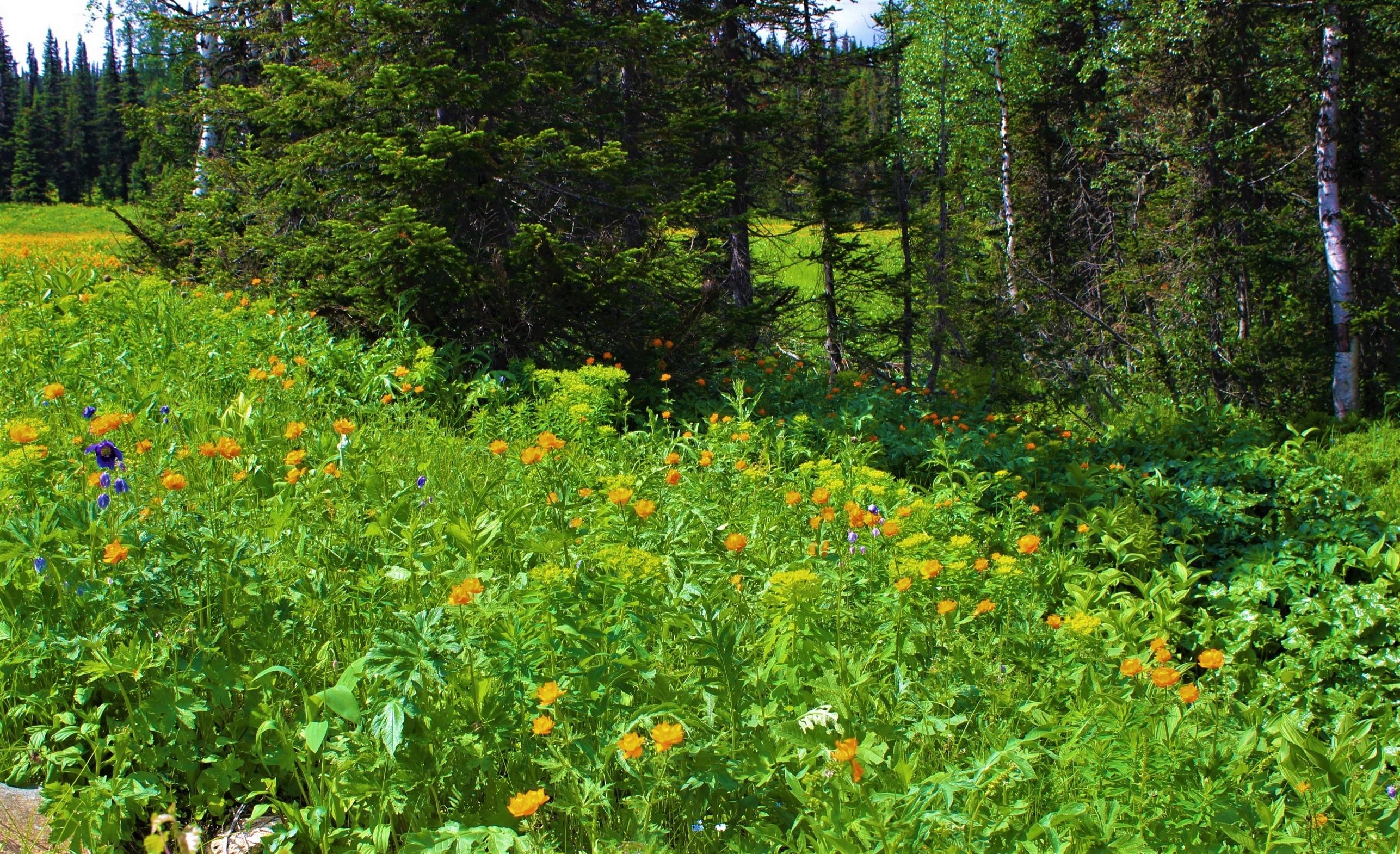 IMG_6150.JPG Цветут в июне поляны