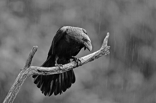 Rain Raven. The image was taken from a hide at Aloos in the French Pyrenees