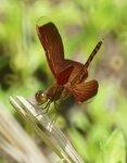 Суматранская стрекоза: Red Grasshawk - Neurothemis fluctuans