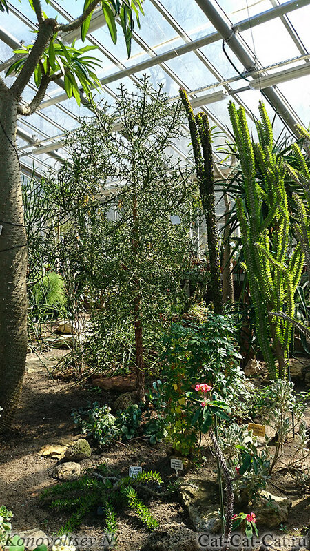 Кактусы и эуфорбии оранжереи Санкт-Петербурга, ботанический сад