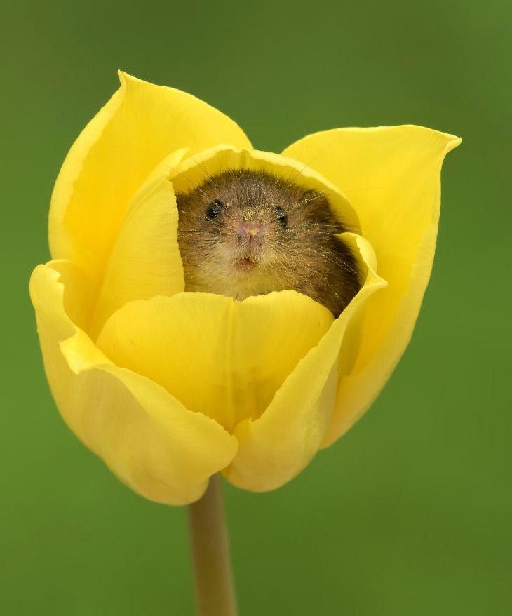 Мыши в тюльпанах (17 фото)