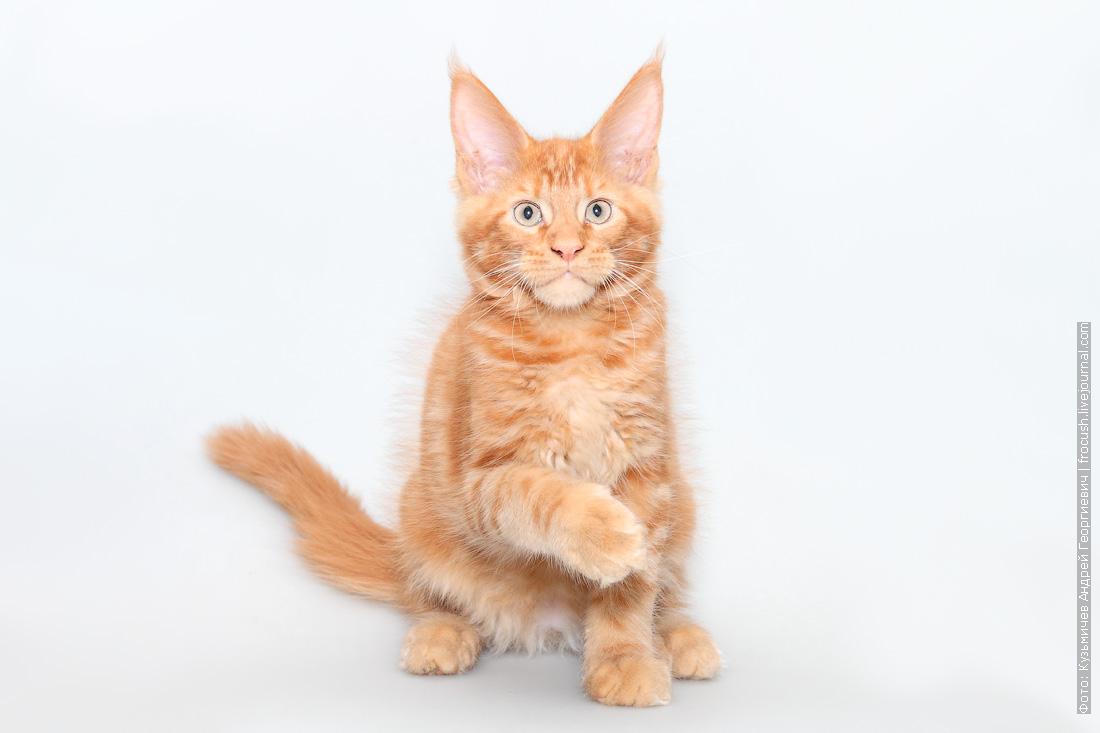 красный котенок мейнкун фотография