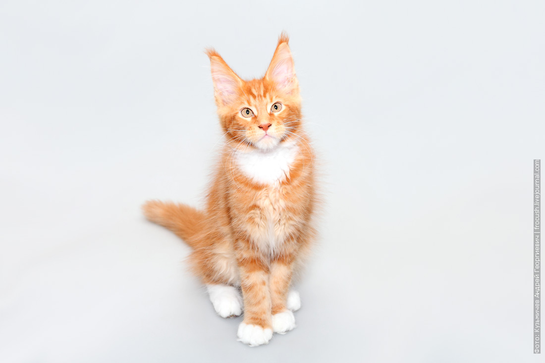 красный мраморный с белым котенок мейнкун цена продажа