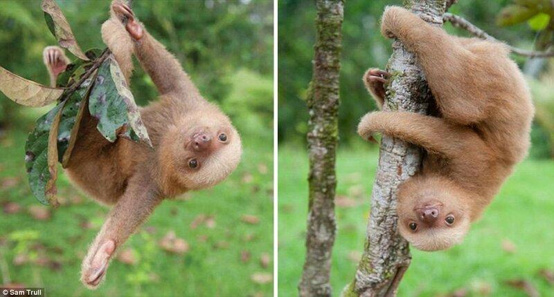 Работники Института ленивцев заботятся о том, чтобы их воспитанники освоились в джунглях, перед тем, как отпустить их в дикую природу.