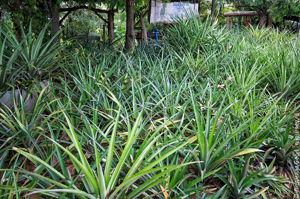 выращивание ананасов в таиланде