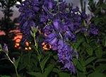 Колокольчик широколистный / Campanula latifolia