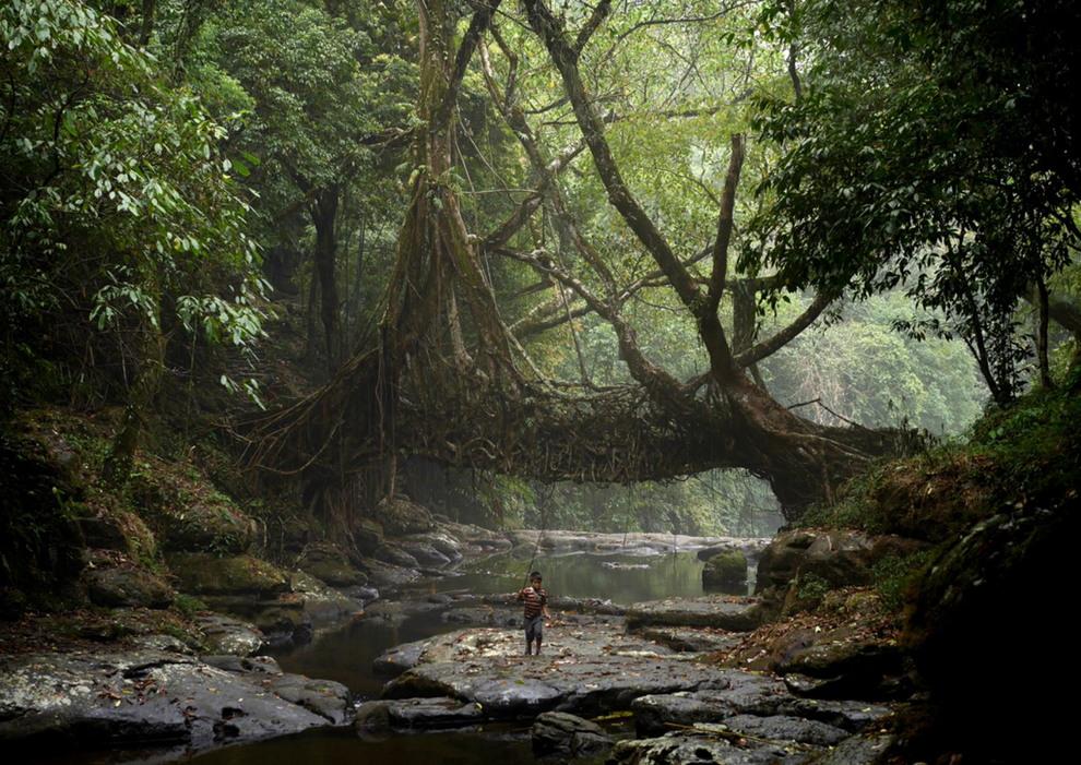 «Живые мосты» в Индии деревьев, только, полностью, бамбук, корни, такие, необычные, Небольшая, другом, времени, Чаппл, фотограф, рассказал, верёвок», помощью, фиксируются, между, течение, растущих, рядом