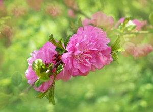 Розовые грёзы.