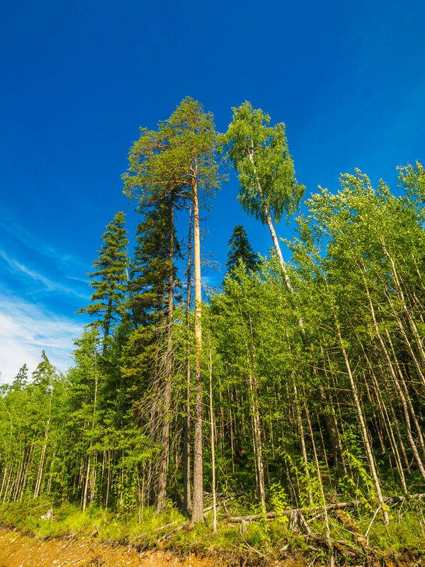и высокие деревья