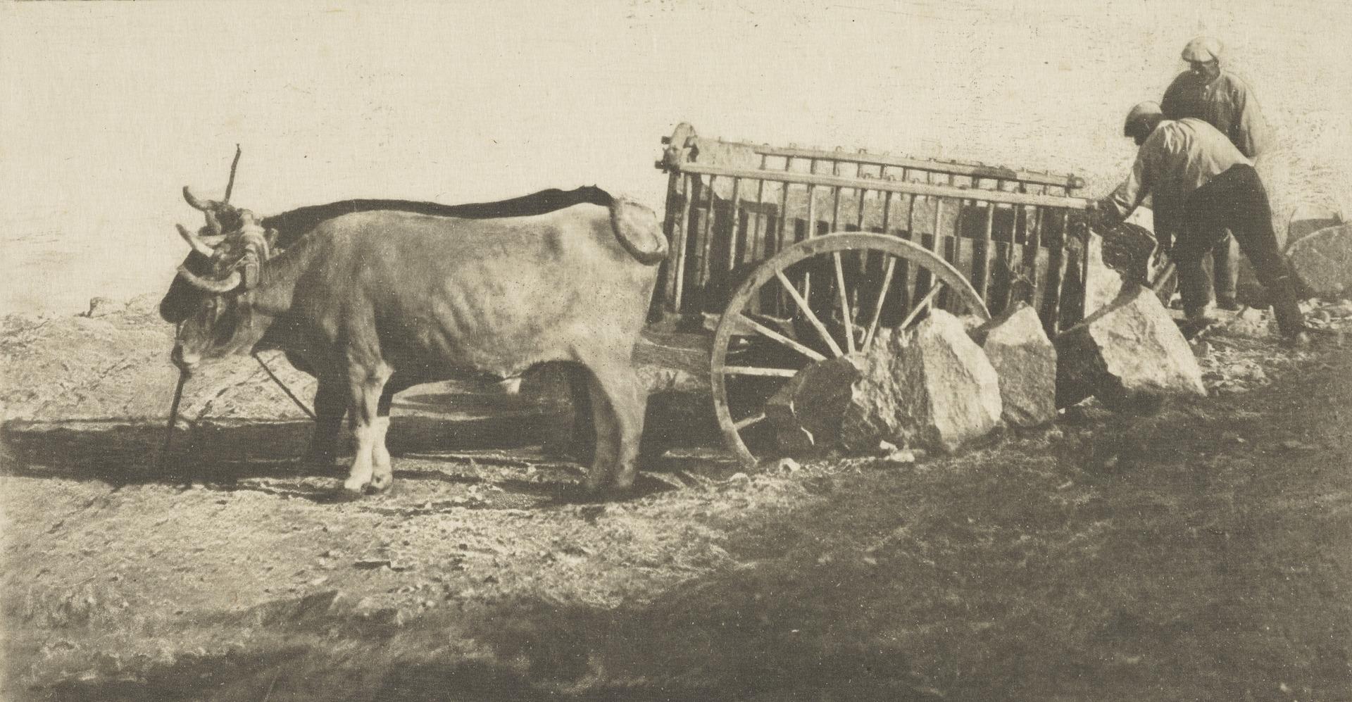 1900-е. Телега, запряженная волами