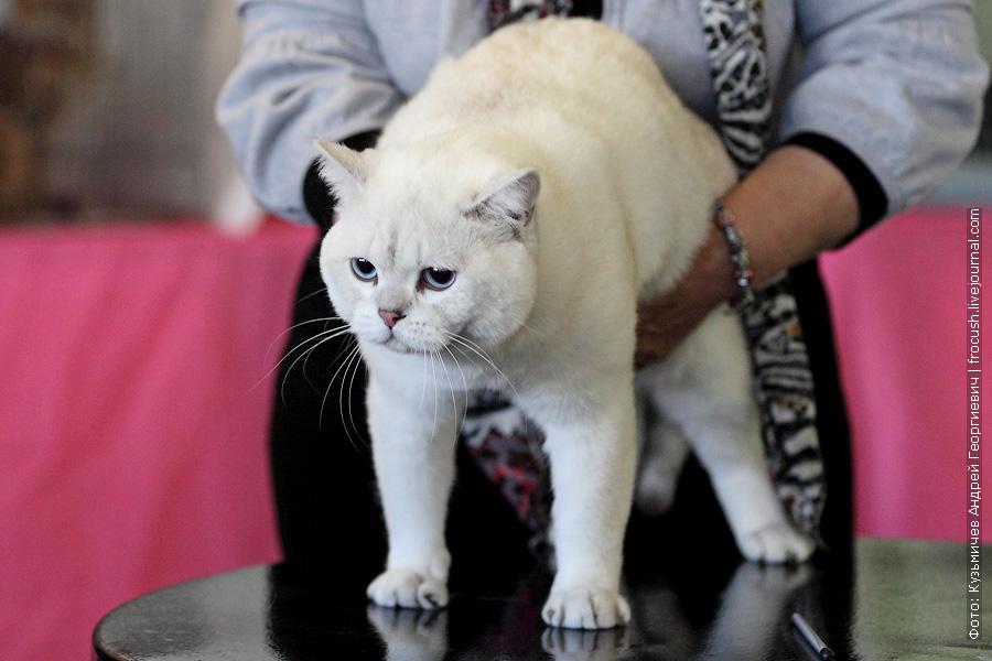 Британская короткошерстная Кот