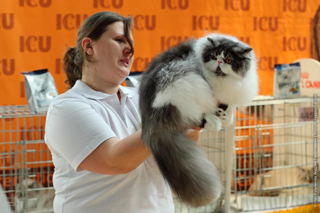 кошка Персидская фото