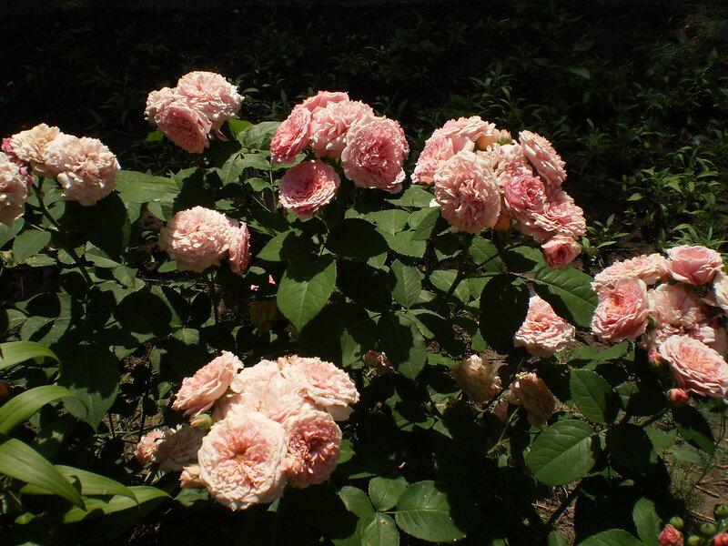 Восхитительный розарий и красивые сорта роз