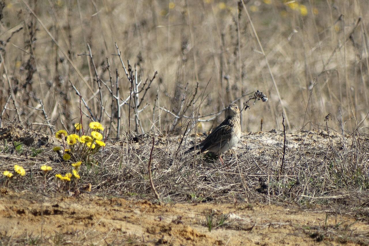 Полевой жаворонок (Alauda arvensis). Автор фото: Привалова Марина
