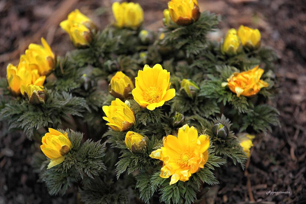 Первоцветы в Ботаническом сдау Нью Йорка