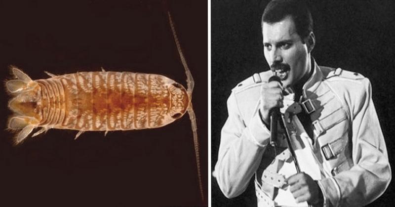 12. Таракан Cirolana mercuryi и Фредди Меркьюри. Родившийся на Занзибаре лидер группы Queen, пожалуй