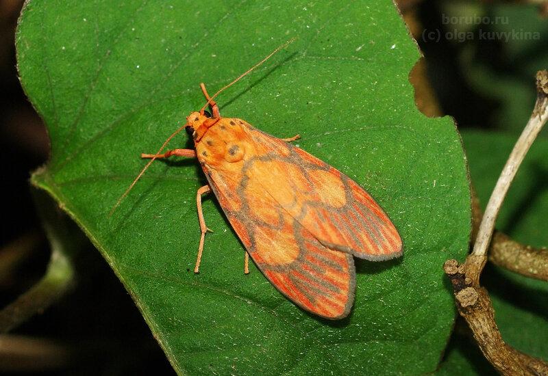 Барсине розеороратус (Barsine roseororatus)