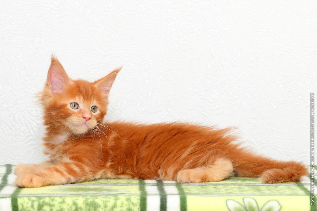 красный котенок Мейн-кун купить в Москве из питомника