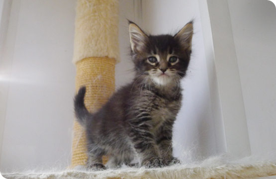 Мейн-кун котенок черный тикированный