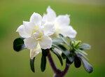 Adenium Obesum Triple Flower WHITE FRAGRANT