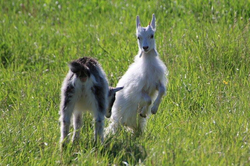Два козлёнка бодаются на солнечном лугу