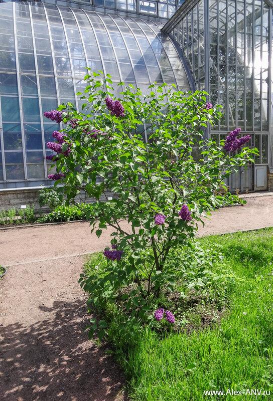 В Ботаническом саду растёт какое-то невероятное число видов сирени - то ли пятьдесят, то ли пятьсот...