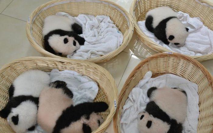 Китайский заповедник панд перевыполнил план рождаемости