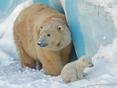 Большая и малая медведицы