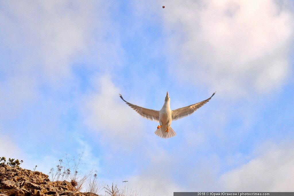Югансон. Кормление белой чайки. Холст. Масло