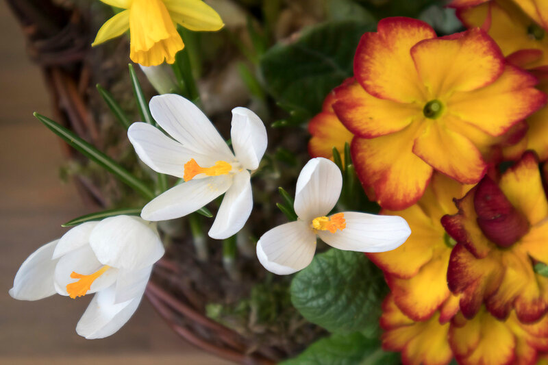 flowers of primrose at blurred green background in garden at sunny day