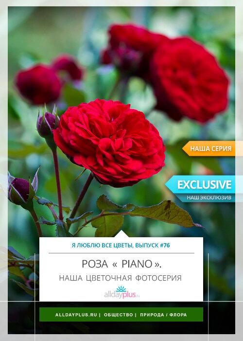 Я люблю все цветы, выпуск 76 | роза « Piano ».
