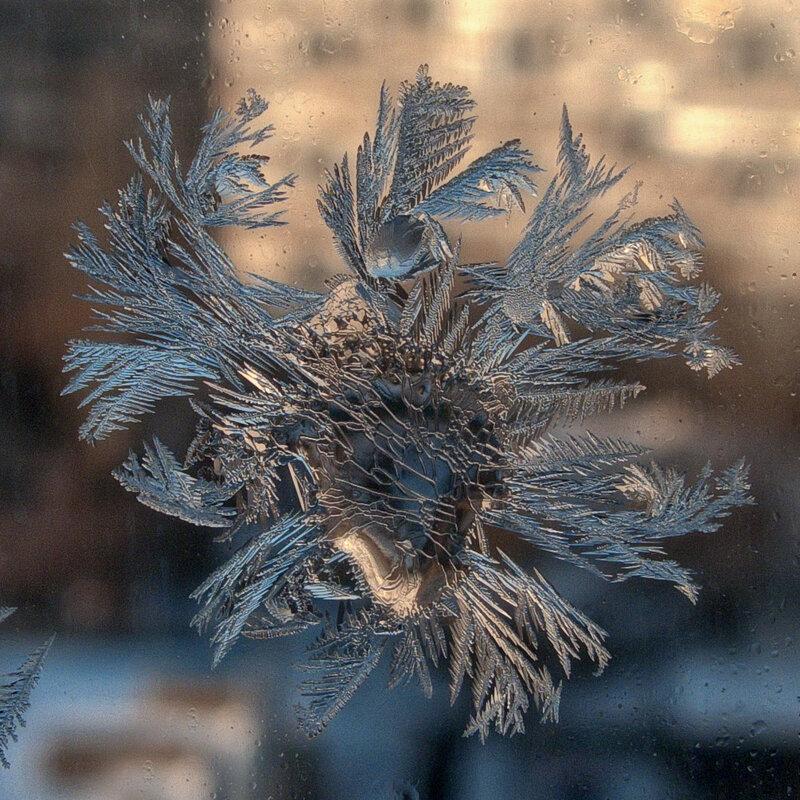 Зимний василёк