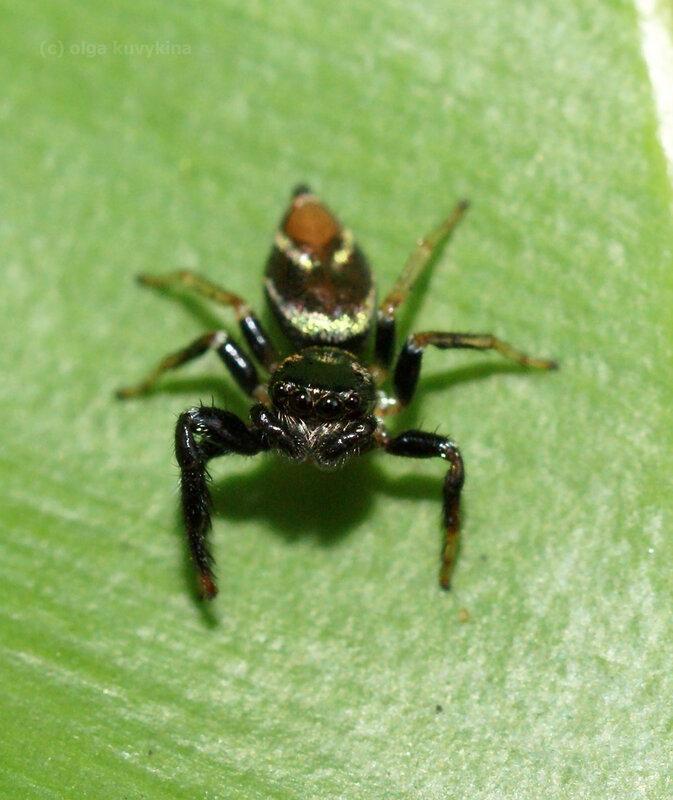 Скакунчик Thiania bhamoensis