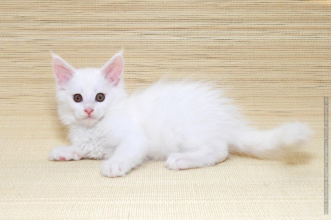 белый котенок мейн кун