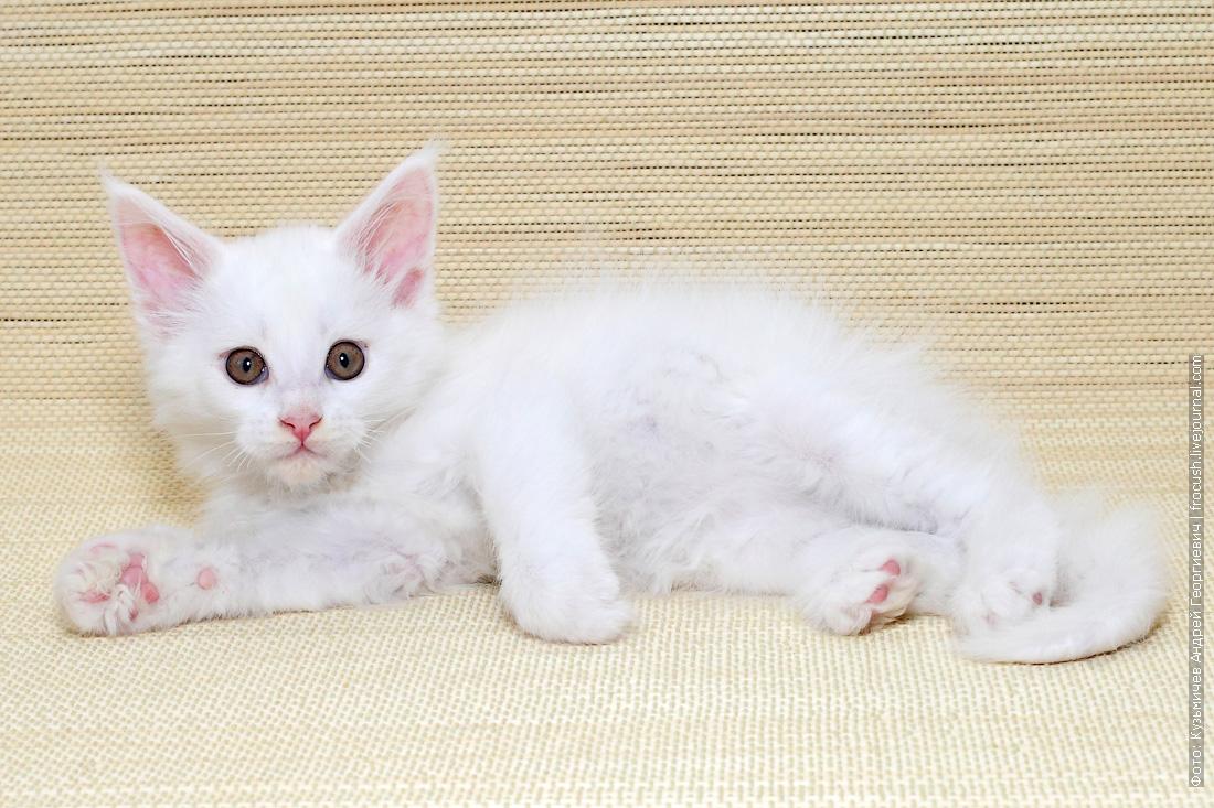 котенок мейн кун белый
