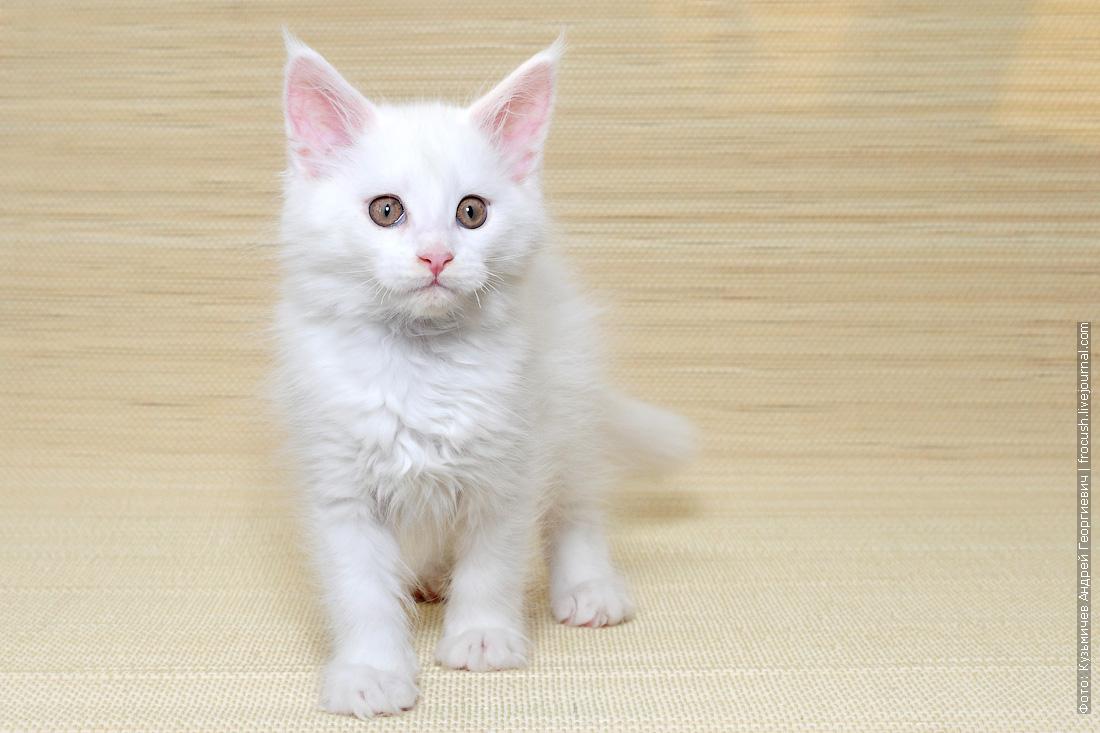 белый котенок мейн кун купить в москве