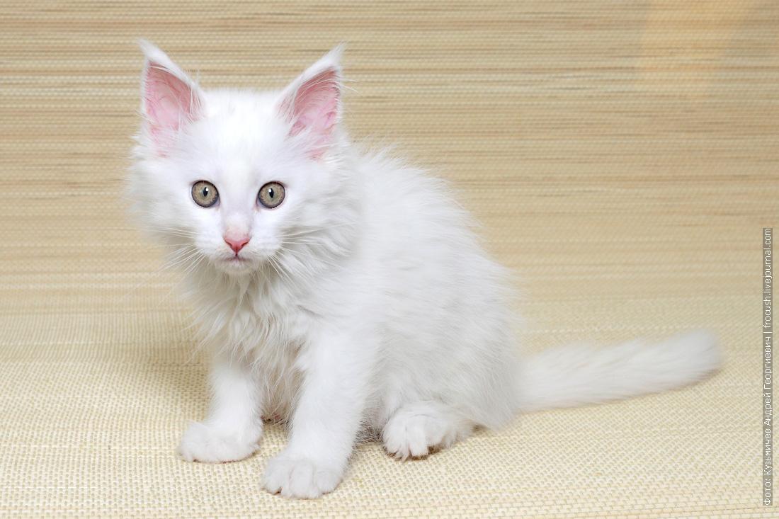 котенок мейн кун белый из питомника в москве купить