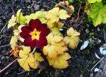 Фотосессия с цветочком примулы
