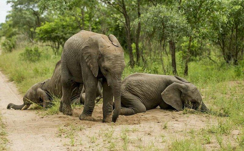 пьяные слоны
