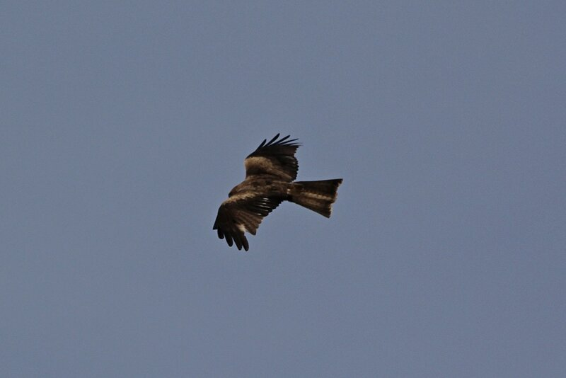 Расправивший крылья коршун