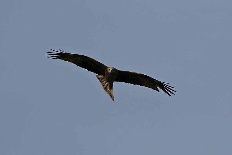 Коршун с расправленными крыльями на повороте во время полёта с повернутой головой