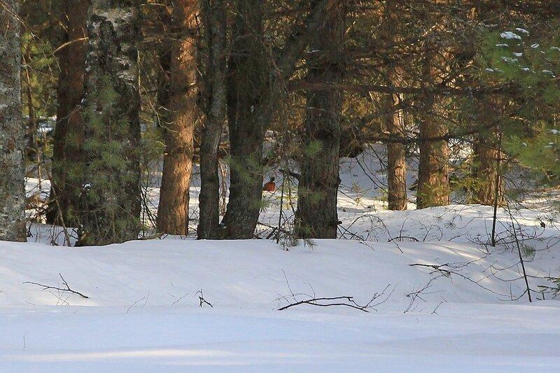 Фазан на опушке среди деревьев