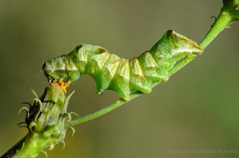 Гусеница совки садовой