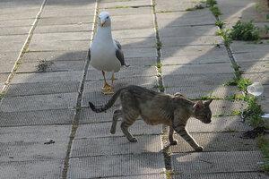 чайка и кошка