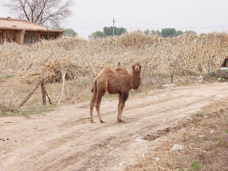 верблюжонок в долине Хэтао, Внутренняя Монголия, Китай