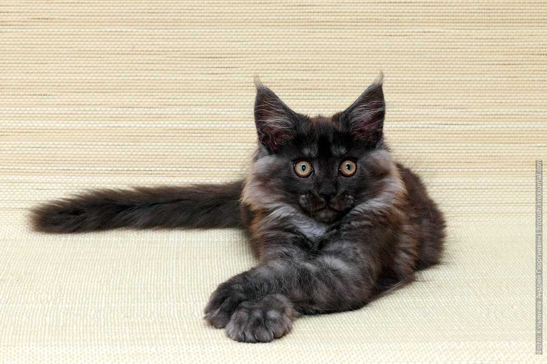 котенок мейн-кун купить