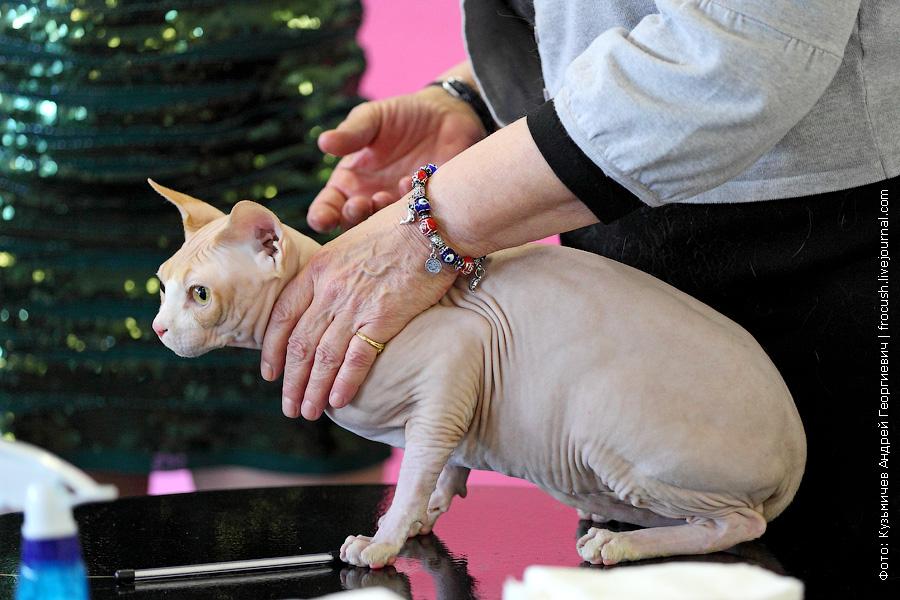 Канадский сфинкс выставка кошек кот ВВЦ