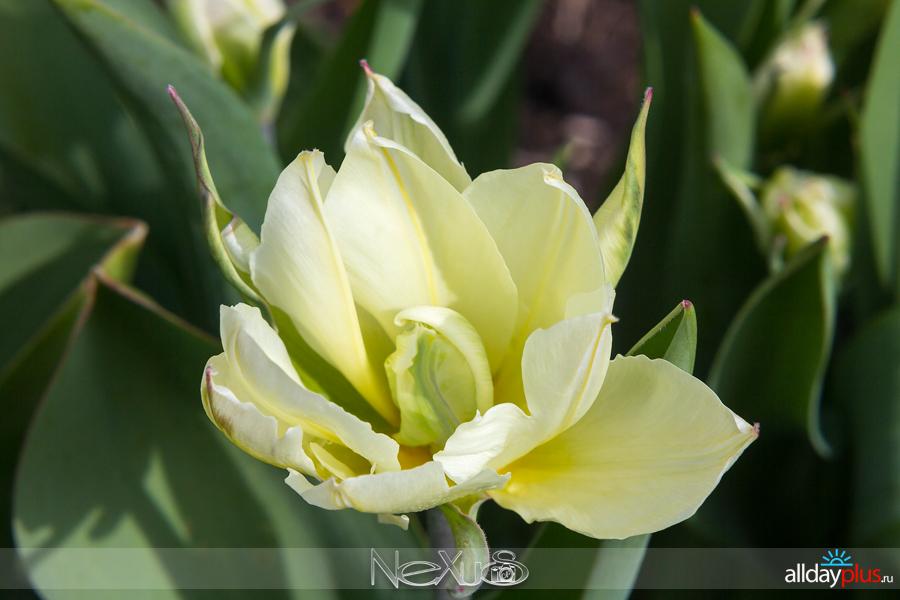 Я люблю все цветы, выпуск5a8 153 | Тюльпан «Exotic Emporior» и нарцисс «Golden Dukat».